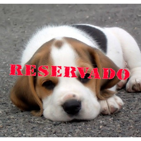 cachorro beagle macho